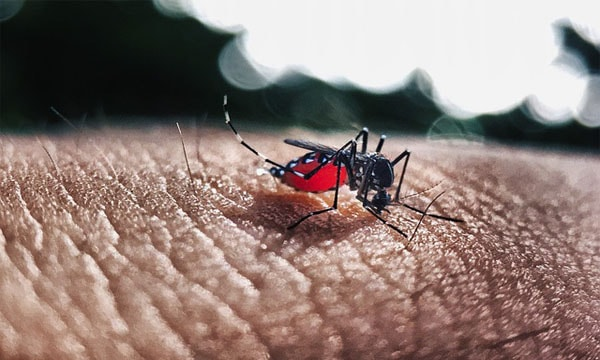 Essay on Dengue Fever image